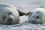 Foto: VidiPhoto<br /> <br /> D&Uuml;NE  - Pasgeboren jonge zeehondjes met hun nog witte vacht op het strand van het piepkleine eilandje D&uuml;ne, bij Helgoland in het Duitse deel van de Waddenzee. Aan het eind van de herfst/begin winter worden er op D&uuml;ne ieder jaar tientallen zeehondenbaby's geboren. De jongen van ongeveer 10 kilo worden na de geboorte door de moeder op het strand achtergelaten. Af en toe komen ze terug om de kleintjes te voeden met melk. Door de extreem vette moedermelk wegen de dieren binnen drie weken zo'n 50 kilo. Er zijn zo'n dertig soorten zeehonden.