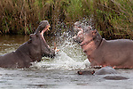 Hippo, Hippopotamus amphibius, fighting, Kruger National park, Mpumalanga, South Africa