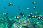 Sea of Cortez, Baja California, Mexico; a school of King Angelfish (Holacanthus passer) swimming above the rocky reef