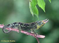 "1106-07oo  Jackson chameleon ""Hunting for Prey"" - Chamaeleo jacksonii - © David Kuhn/Dwight Kuhn Photography"
