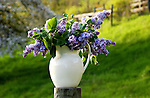 Lilacs in Pitcher