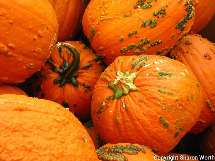 Pumpkins nestled rind to rind.