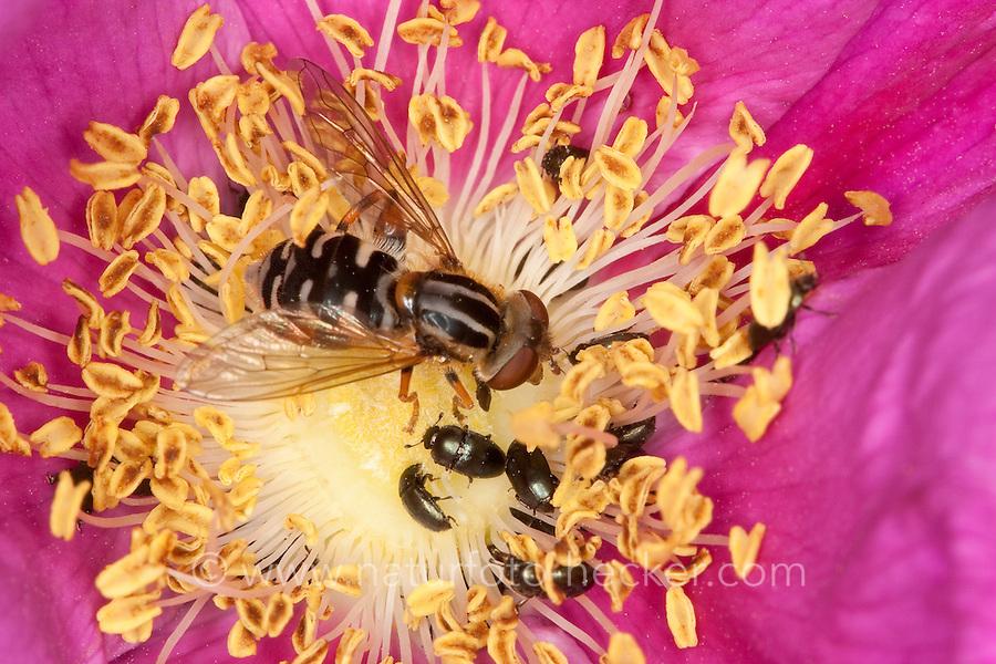 Gestreifte Nasen-Schwebfliege, Nasenschwebfliege, Schwebfliege beim Blütenbesuch, Nektarsuche, Bestäubung, Anasimyia lineata, Eurimyia lineata