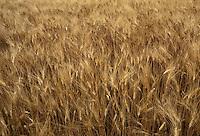 Calvatone, Cremona, IRIS Bio - cooperativa per l'agricoltura biologica e l'allevamento di animali con metodi naturali. Campo di grano duro.<br /> Calvatone, Cremona, IRIS Bio - cooperative for organic farming and the breeding of animals with natural methods. Durum wheat cultivation.