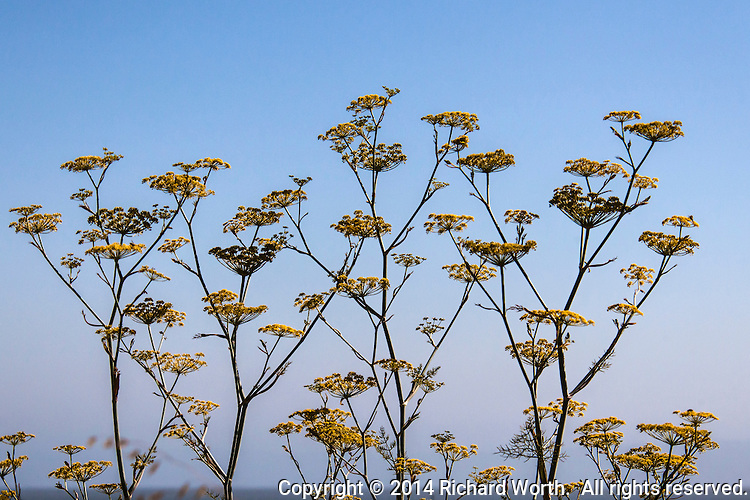 Yellow flowers on sweet fennel plants against a clear blue sky background with just a hint of the Bay at the horizon.