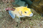 Cocos Island, Costa Rica; a yellow Guineafowl Puffer (Arothron meleagris) fish swimming over the rocky reef