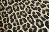Spotted Leopard fur (Panthera pardus), Africa.