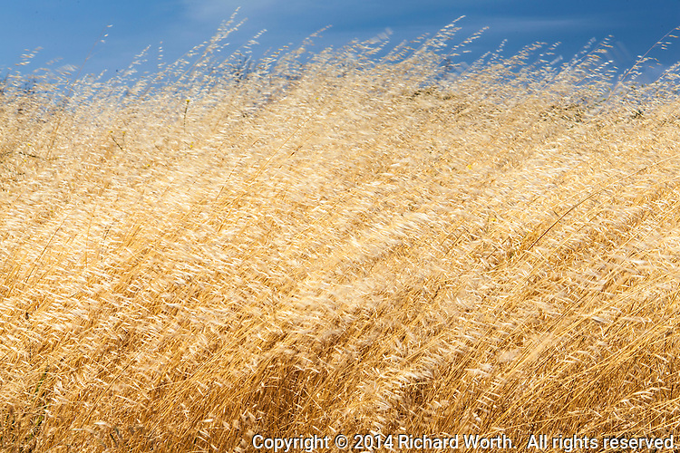 Stalks bend and seed heads flutter as wind plays with dried grass at a regional park.