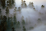 Redwood Creek overlook with giant redwoods sticking out above low clouds at sunrise Redwood National Park Northern California USA.