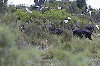 African lion stalking cape buffalo, Duba Plains, Botswana