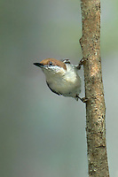 561210007 a wild brown-headed nuthatch sitta pusilla perches on a long-leaf pine pinus palustris in the angelina national forest in jasper county east texas