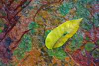 On the way down to the base of Kondalilla falls I found this interesting rock with amazing colours and detail. I placed a leaf on the surface, a little unoriginal but felt that it was needed.