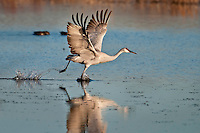 Sandhill Crane