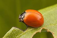 Spotless Lady Beetle (Cycloneda sanguinea) perched on a leaf.