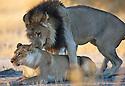 Botswana, Okavango Delta, Moremi; lion mating pair