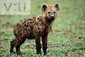 A baby Spotted Hyaena ,Crocuta crocuta, Masai Mara Game Reserve, Kenya