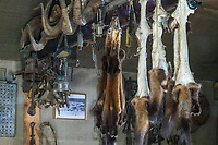 Pine marten furs and dall sheep horns hang from a perlin in a log cabin, Alaska.