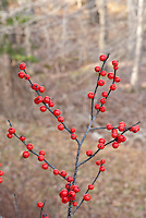 Ilex verticillata Winterberry in winter with bright red berries on bare branches against stark bare tree landscape blurred in background