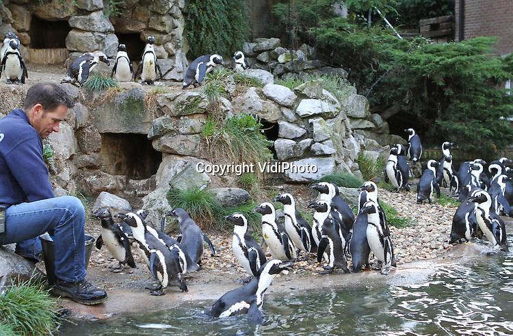 Foto: VidiPhoto..ARNHEM - Tweemaal per dag staat er in Burgers' Zoo in Arnhem een heuse dierenfile. Het voeren van de pinguins gebeurt namelijk met de hand en de Zuid-Afrikaanse zwartvoet-pinguins sluiten netjes aan in de rij tot ze aan de beurt zijn om haring te happen. Een grappig en vreemd gezicht. De dieren zijn bovendien zeer kieskeurig en lusten alleen complete vis met kop en staart..