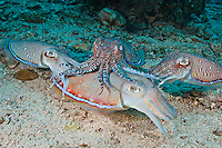 RA75271-D. Pharaoh Cuttlefish (Sepia pharaonis), three males courting one female. Dominant male in center draped overtop larger female, tries to prevent competing males from mating with her. Philippines. Tropical Indo-West Pacific oceans.<br /> Photo Copyright &copy; Brandon Cole. All rights reserved worldwide.  www.brandoncole.com