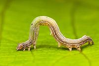 Erebid Moth (Zale sp.) - Caterpillar