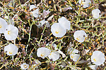 Bindweed, convolvulus - Desert plant with white flowers. .