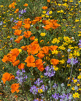 Wildflowers--mostly California poppies, goldfields and thistle sage--grow on hills near the Antelope Valley California Poppy Reserve.  March.