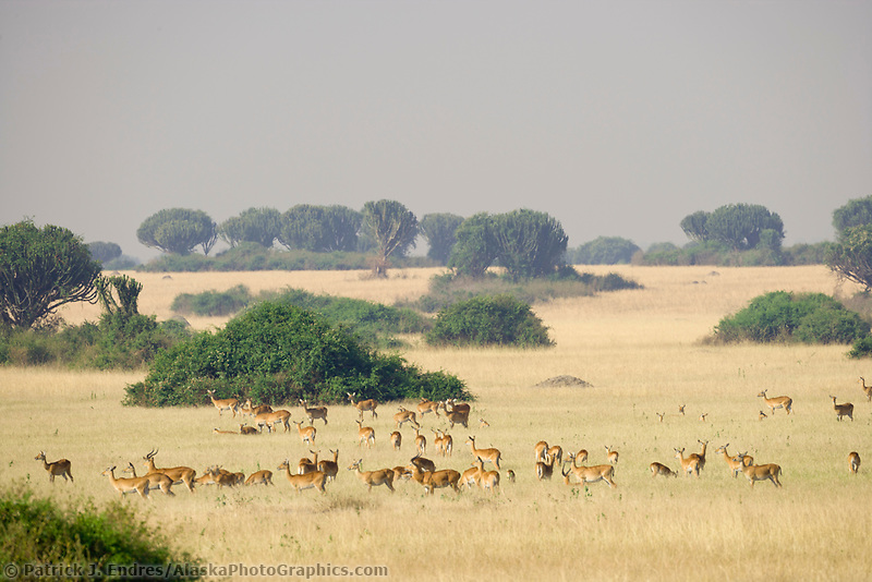 Uganda Kob, Queen Elizabeth National Park, Uganda, East Africa