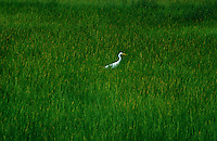 Images from the Book Journey Through Colour and Time - Egret in a swamp Northern Territory Flood Plains