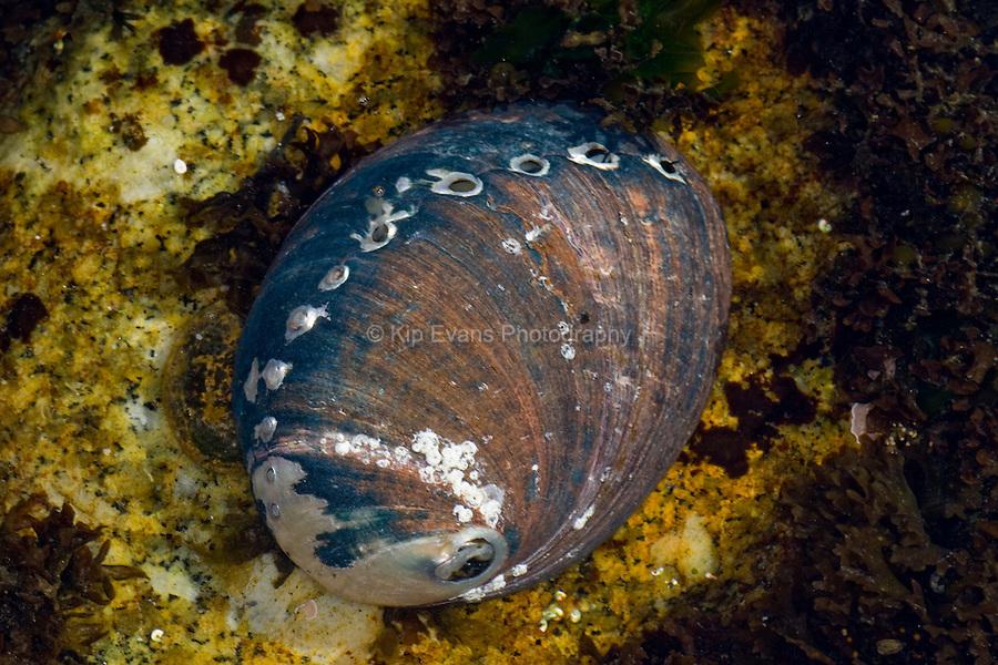 Black Abalone (Haliotis craacherodii), Carmel Point, CA