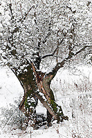 Olive trees and olive groves in the snow, Trevi in the province of Perugia, Umbria, Italy