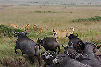 Lioness (Panthera leo) trying to protect cubs from charging Cape buffalo herd (Syncerus caffer), Maasai Mara National Reserve, Kenya.