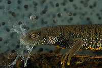 Great Crested Newt female swimming underwater near a mass of eggs (Triturus cristatus).