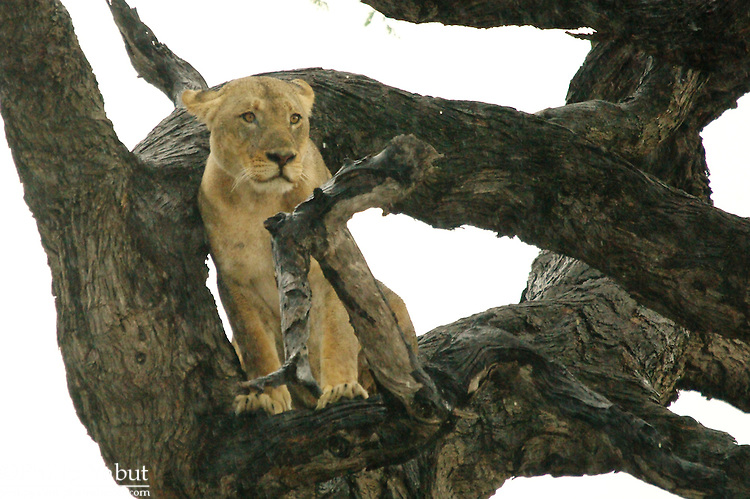 A young lion hangs out in a tree.  Chobe National Park, Botswana