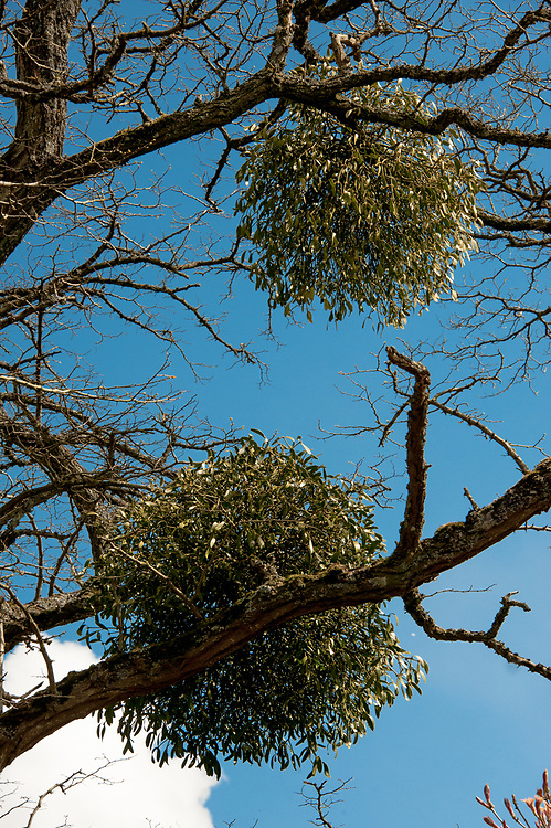 Mistletoe, late April.