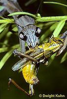 1M15-049z  Praying Mantis adult consuming insect prey - Tenodera aridifolia sinenesis