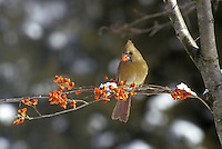 Female cardinal, Cardinal cardinalis, perching on snowy branch wrapped with bittersweet berries, Celastrus scandens, eating a berry, Winter, Midwest USA
