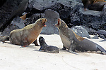 South America, Ecuador, Galapagos, Espanola. Galapagos Sea Lion family.