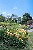 Hemerocallis daylily garden in mass plantings in summer near house on slope hill near orchard with tree watering wells, lots of sunny blue sky and clouds