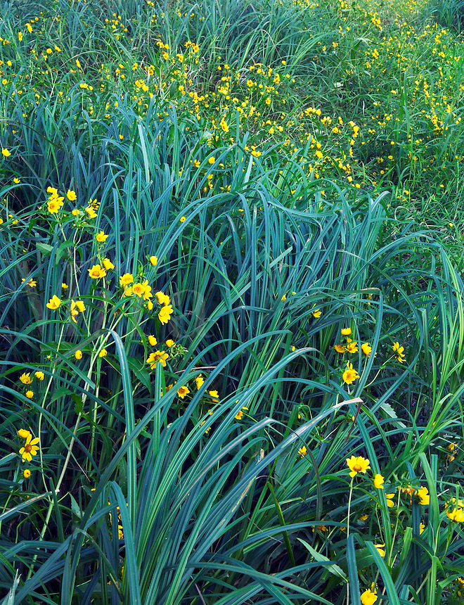 Wetland with nodding bur marigold, Iowa
