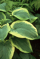 Hosta Northern Exposure