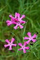 Carthusian pinks (Dianthus carthusianorum), end June.