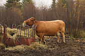 Beef cattle eating hay from outdoor feeder