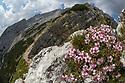 Pink Cinquefoil (Potentilla nitida) growing on mountianside. Triglav National Park, Julain Alps, 2000m, Slovenia. July.