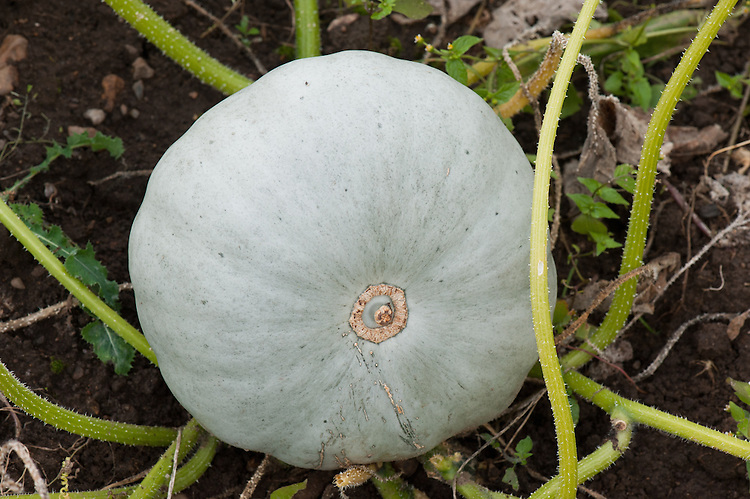 Pumpkin 'Invincible', an improved 'Crown Prince' type, late September.