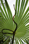 Common Tree Snake on a palm frond (Dendrelaphis punctulata)