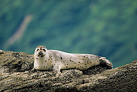 Harbor Seal, Coastal Katmai National Park, Alaska Peninsula