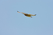 Eurasian Curlew (Numenius arquata) In flight on its way to the field as the mudflats and salt marshes have flooded. The high Spring tide floods the Marshes and deposits silts and nutrients and drive insects and other invertebrates to the surface. It has one of the most evocative and distinctive of calls. They are one of the most ancient lineages of scolopacid waders.