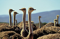 Ostriches, close up, on a farm in the Karoo, Cape Province, South Africa.