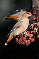 Bohemian Waxwing attempting to swallow a crab apple